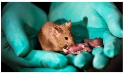 Dos ratas hembras lograron tener ratones sin macho