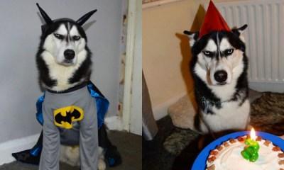 Perro Husky Que Odia La Vida, Perros, Perro Husky, Anuko, Odio, Fotos De Perros