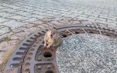 Rata gorda queda atrapada en alcantarilla