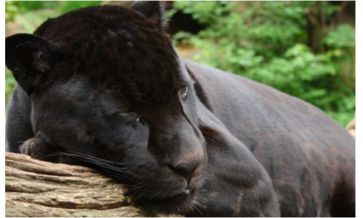 Zoológico no sacrificará al jaguar que lastimó a mujer por querer tener una selfie