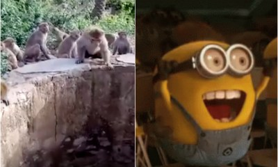 VIDEO: monos ayudan a un leopardo que cayó a un pozo