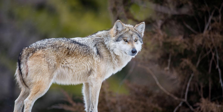 Nacen seis cachorros de lobo mexicano en Chapultepec