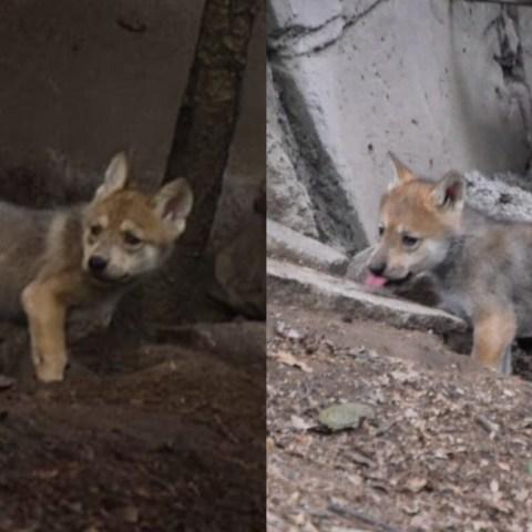 Lobo Mexicano, Chapultepec, Nacen Cachorros Lobo Mexicano, Zoologico De Chapultepec, Animales, Cachorros Lobo Mexicano