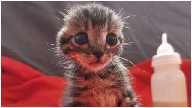 gato-sin-orejas