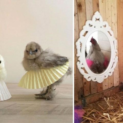 Pollitos en tutú: adorables aunque no bailen ballet
