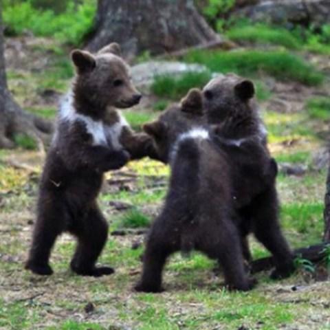 Captan a tres ositos bebé bailando en círculo en el bosque