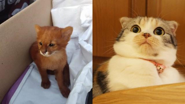 Mujer que adoptó gato que resultó ser un puma yaguarundí