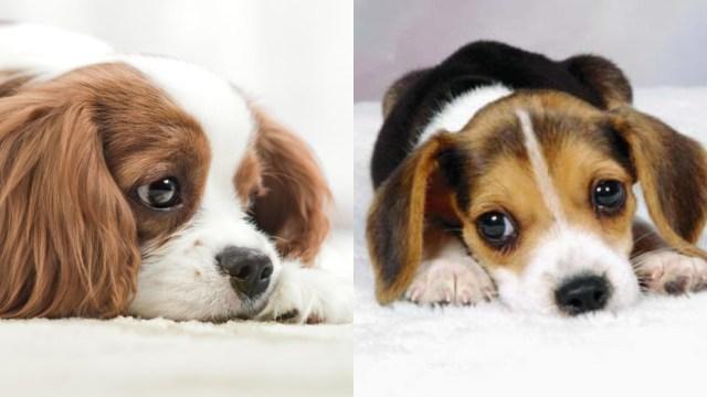 Síntomas y causas de la sordera en perros
