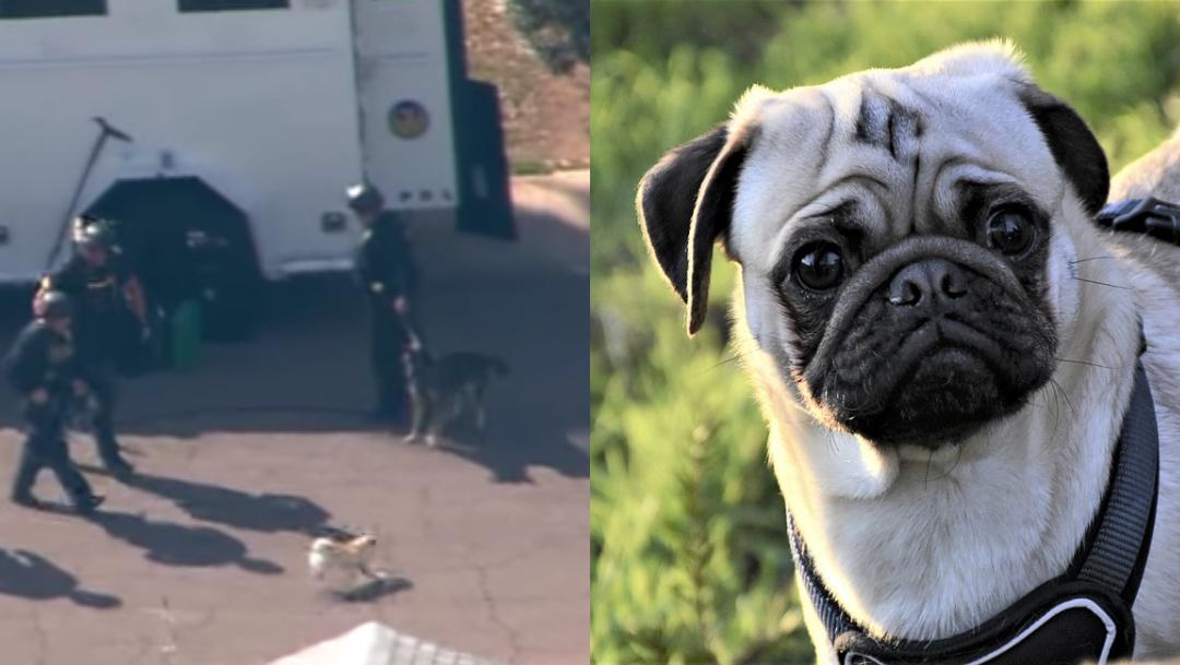 Perro pug intenta pelear con perro policía y se hace viral