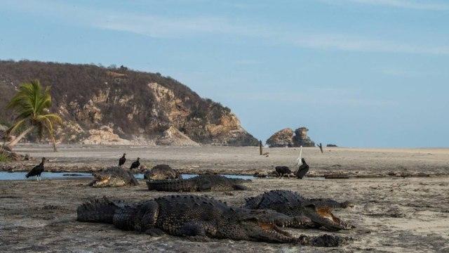 cocodrilos en las playas de oaxaca
