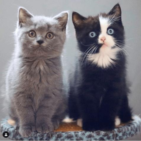 Gato bicolor hereda un color a cada uno de sus hijos.