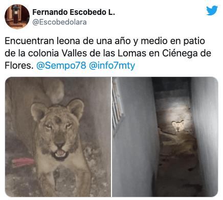 Encuentran una cachorra leona abandonada en Nuevo León