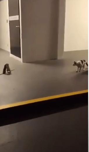 Video: Un gato observa impresionado una intensa batalla entre 2 ratas