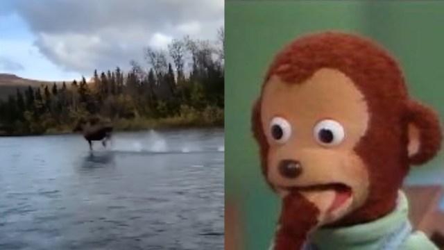 Alce corriendo sobre el agua
