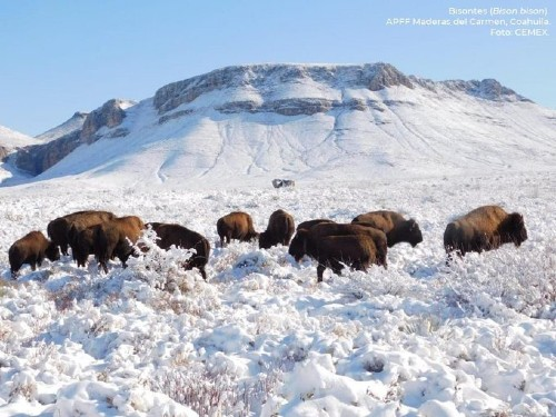 Bisontes en la nieve de México