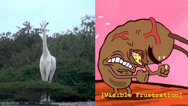 Última Jirafa blanca del mundo