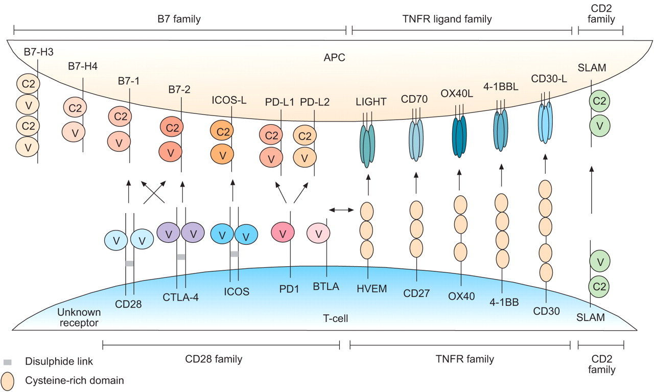 Master switches of Tcell activation and differentiation