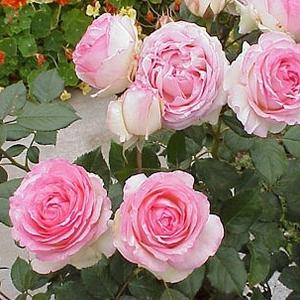 Willestrup (Eden Rose 88)