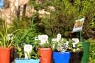 boronia with veggie seedlings