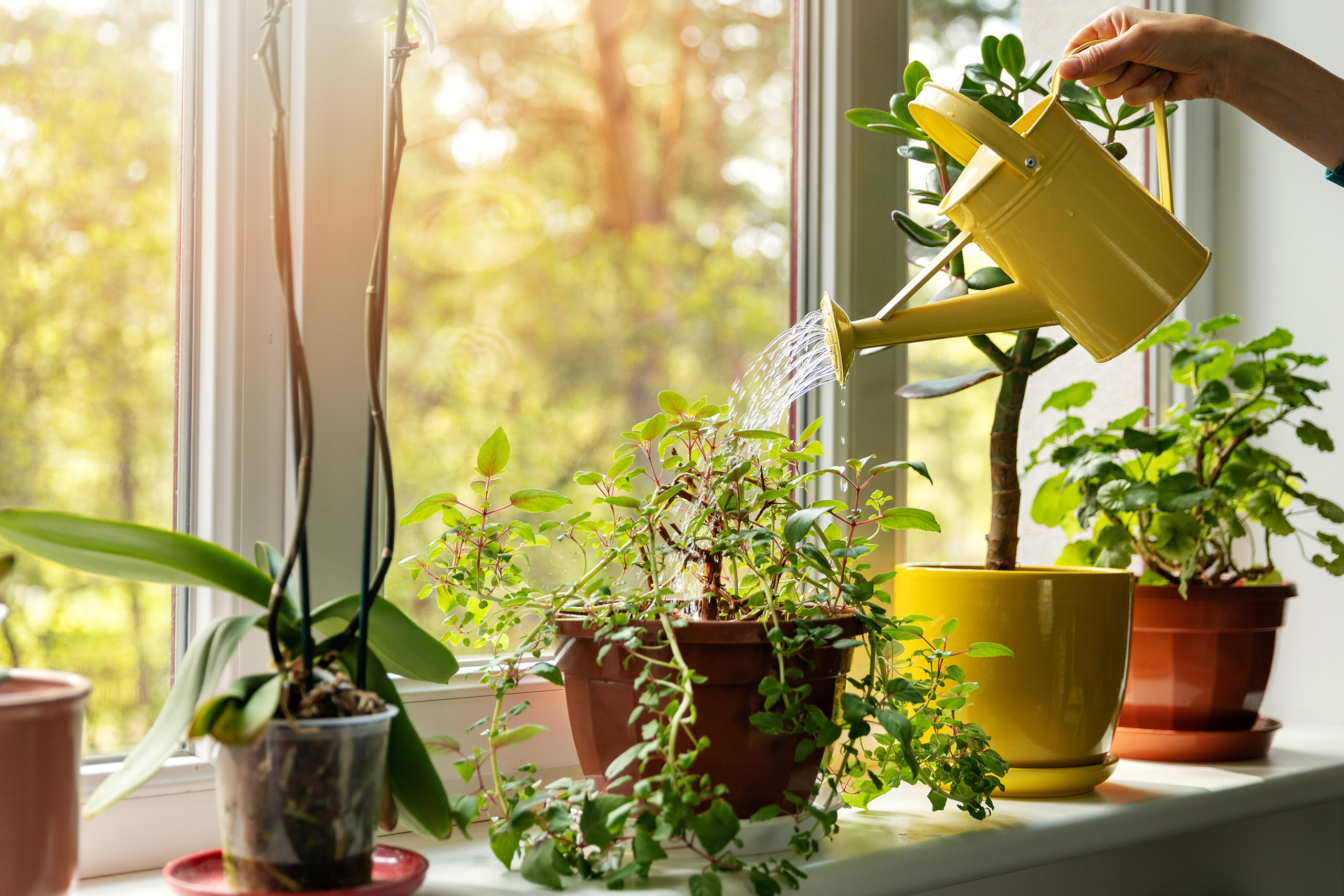 persons hand watering plants on window ledge