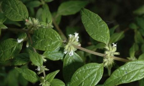 Muña (pianta)