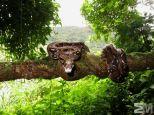 Boa constrictor (San Luis de Monteverde, Puntarenas, Costa Rica)