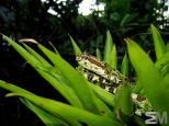 Bothriechis schlegelii (San Luis de Monteverde, Puntarenas, Costa Rica)