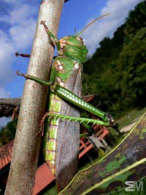 Orthoptera sp. (Itacoatiara, Amazonas, Brazil)