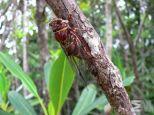 Auchenorrhyncha sp. (New Caledonia)