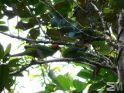 Cyanoramphus saisseti (Riviere Bleue, Province Sud, New Caledonia)