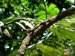Enyalioides laticeps (Itacoatiara, Amazonas, Brazil)