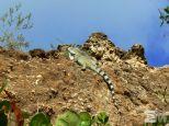Iguana iguana (Curaçao)