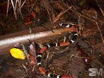 Micrurus surinamensis (Itacoatiara, Amazonas, Brazil)
