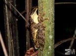 Osteocephalus taurinus (Itacoatiara, Amazonas, Brazil)
