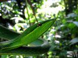Oxybelis fulgidus (San Luis de Monteverde, Puntarenas, Costa Rica)