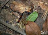 Oxyrhopus trigeminus (Guyana)