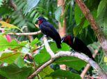 Querula purpurata (Rambala, Bocas del Toro, Panama)