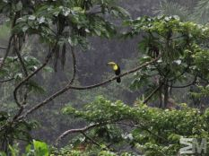 Ramphastos sulfuratus (Rambala, Bocas del Toro, Panama)