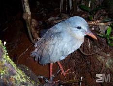 Rhynochetos jubatus (Riviere Bleue, Province Sud, New Caledonia)