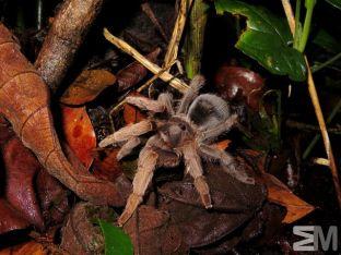Sphearobothria hoffmanni (San Luis de Monteverde, Costa Rica)