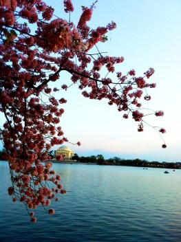 cherry blossoms EA
