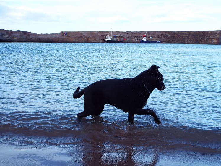 Dog Tess enjoys a paddle in the sea