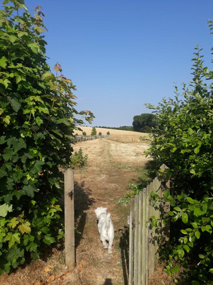 Ernie explores fields around The Hut, Iford
