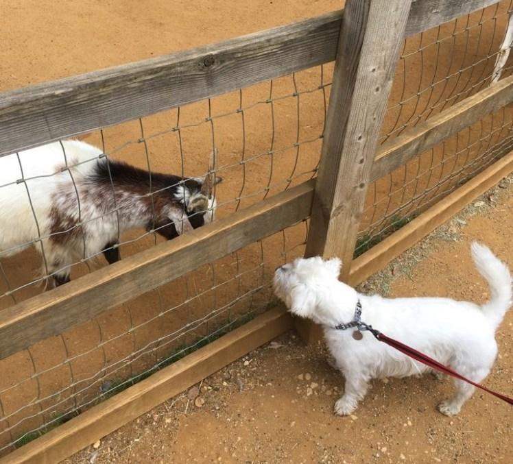 Ernie meets goats at Cotswold Wildlife Park