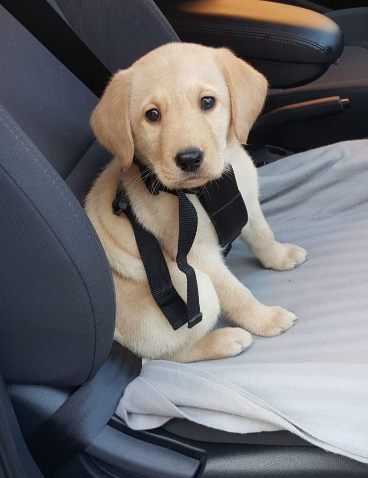 Labrador puppy on back seat of car