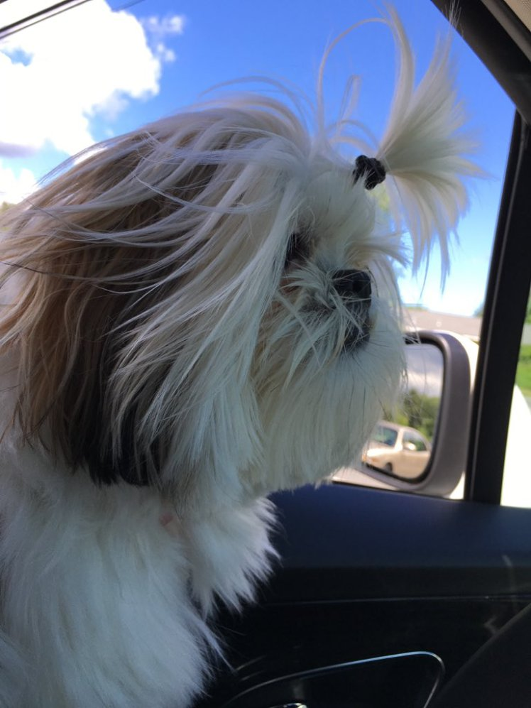 Dog in car with ponytail