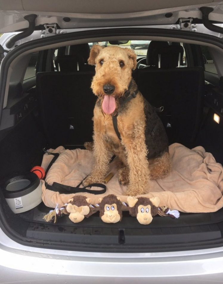 Airedale in boot of car