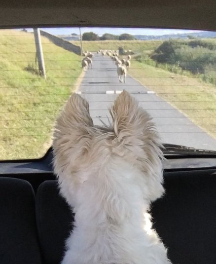 Dog looks at sheep from car window