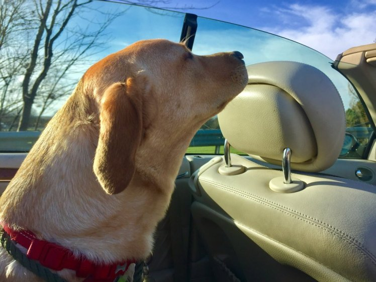 Dog gets some fresh air while in the car