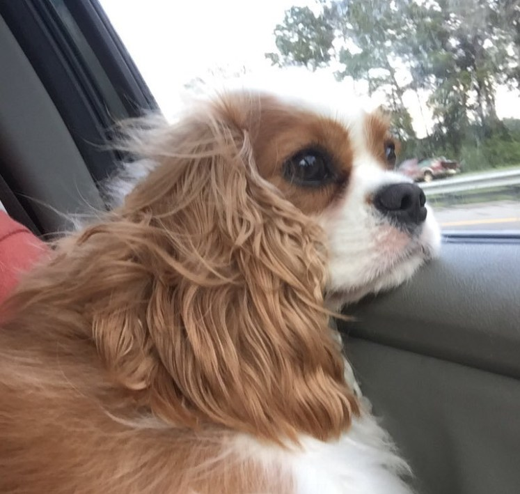 Spaniel looks out of car window